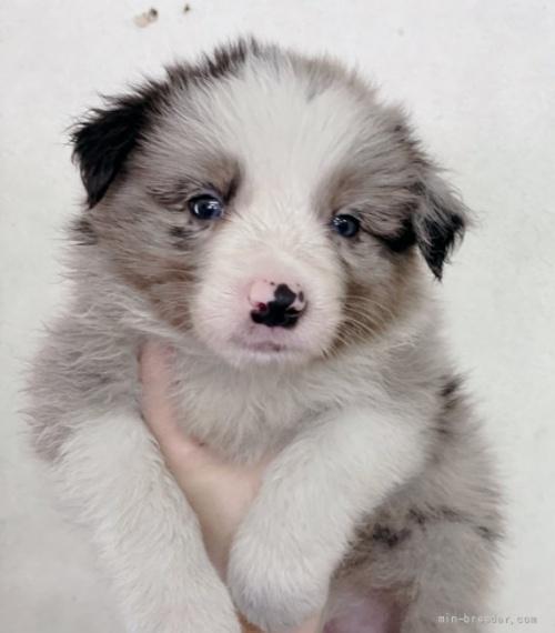ボーダーコリーの子犬(ID:1261611070)の1枚目の写真/更新日:2020-06-15