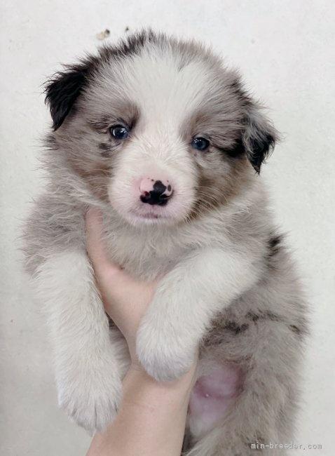ボーダーコリーの子犬(ID:1261611070)の2枚目の写真/更新日:2020-06-15