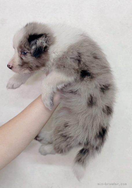 ボーダーコリーの子犬(ID:1261611070)の3枚目の写真/更新日:2020-06-15