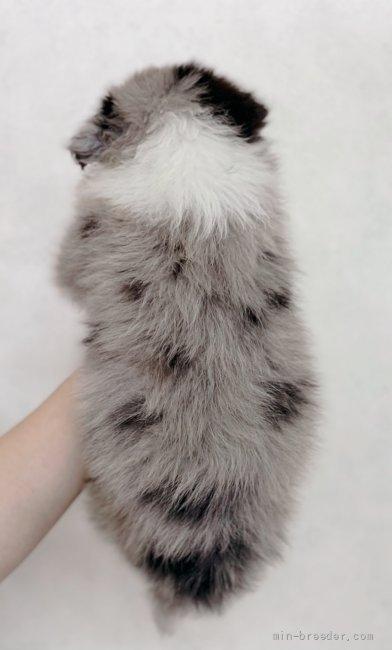 ボーダーコリーの子犬(ID:1261611070)の4枚目の写真/更新日:2021-07-30