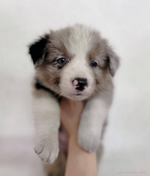 ボーダーコリーの子犬(ID:1261611071)の2枚目の写真/更新日:2020-06-18