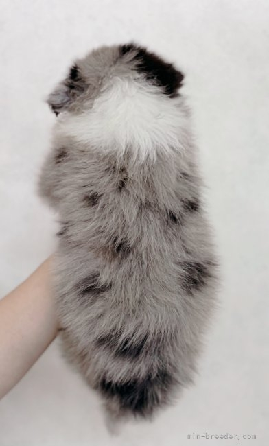 ボーダーコリーの子犬(ID:1261611071)の3枚目の写真/更新日:2020-06-18