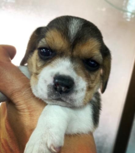 ビーグルの子犬(ID:1261611072)の1枚目の写真/更新日:2020-07-05