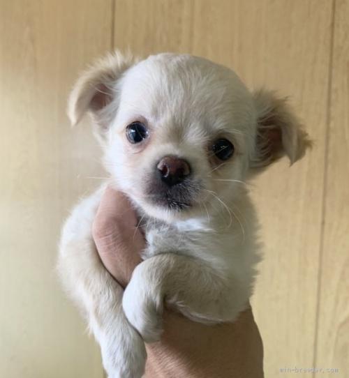 チワワ(ロング)の子犬(ID:1261611073)の1枚目の写真/更新日:2020-09-19