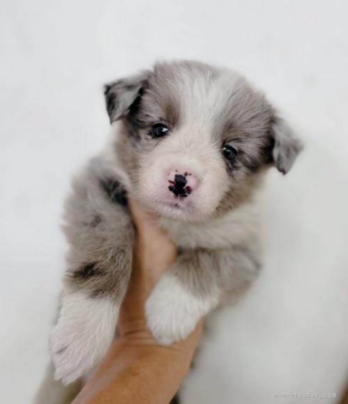 ボーダーコリーの子犬(ID:1261611074)の2枚目の写真/更新日:2021-07-30