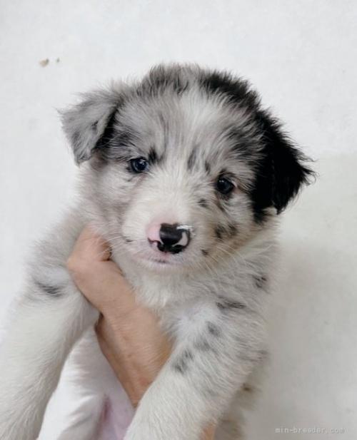 ボーダーコリーの子犬(ID:1261611075)の1枚目の写真/更新日:2021-07-30