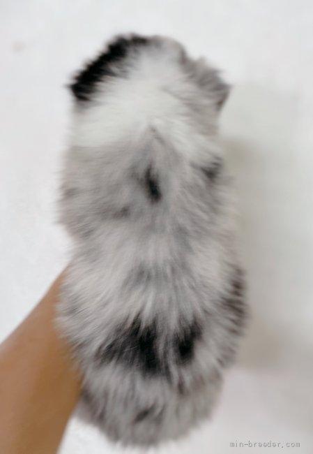 ボーダーコリーの子犬(ID:1261611075)の3枚目の写真/更新日:2021-07-30
