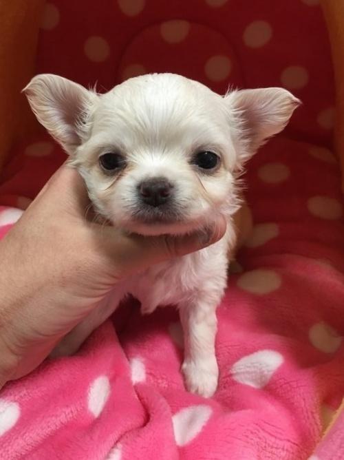 チワワ(ロング)の子犬(ID:1261811021)の1枚目の写真/更新日:2017-01-30
