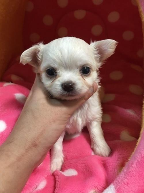 チワワ(ロング)の子犬(ID:1261811022)の1枚目の写真/更新日:2017-01-30