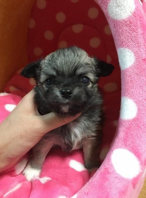 チワワ(ロング)の子犬(ID:1261811023)の1枚目の写真/更新日:2017-01-30