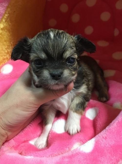 チワワ(ロング)の子犬(ID:1261811024)の1枚目の写真/更新日:2017-01-30