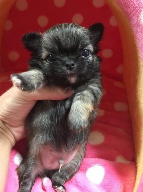 チワワ(ロング)の子犬(ID:1261811025)の2枚目の写真/更新日:2017-01-30