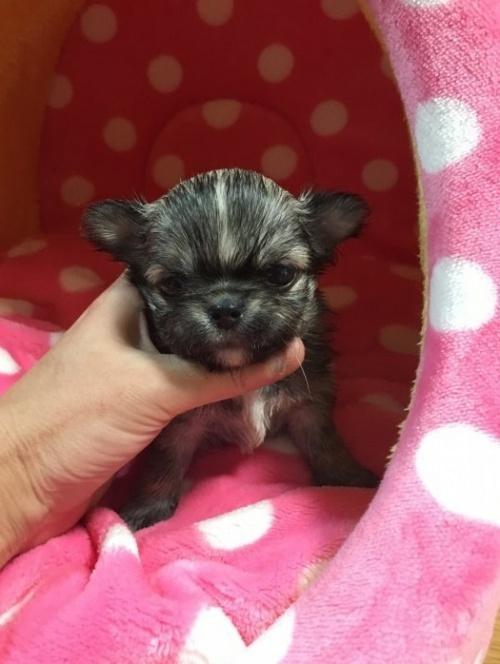 チワワ(ロング)の子犬(ID:1261811026)の1枚目の写真/更新日:2017-01-30