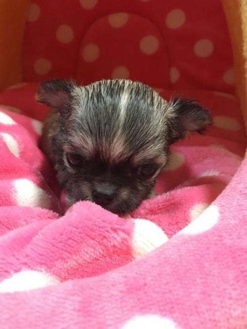 チワワ(ロング)の子犬(ID:1261811026)の2枚目の写真/更新日:2017-01-30