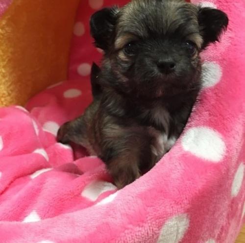 チワワ(ロング)の子犬(ID:1261811027)の1枚目の写真/更新日:2017-01-30