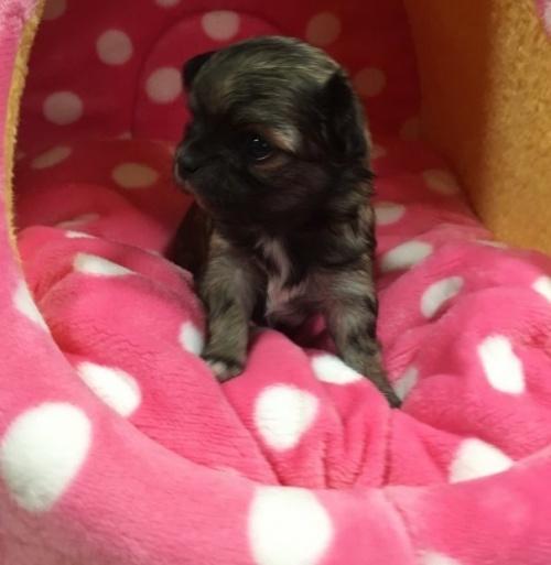 チワワ(ロング)の子犬(ID:1261811027)の2枚目の写真/更新日:2017-01-30