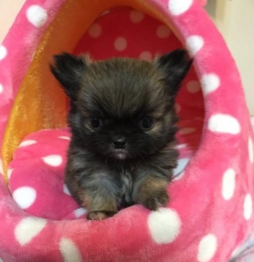 チワワ(ロング)の子犬(ID:1261811028)の1枚目の写真/更新日:2017-02-13
