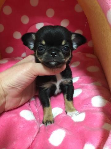 チワワ(スムース)の子犬(ID:1261811029)の2枚目の写真/更新日:2017-04-03
