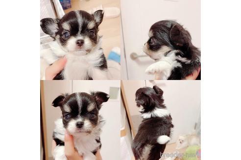 チワワ(ロング)の子犬(ID:1261811034)の1枚目の写真/更新日:2017-08-15