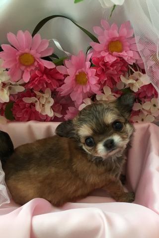 チワワ(ロング)の子犬(ID:1261811036)の1枚目の写真/更新日:2017-08-15