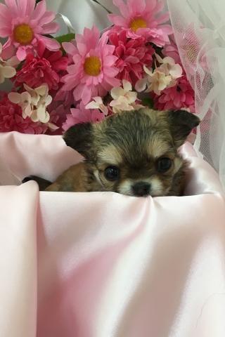 チワワ(ロング)の子犬(ID:1261811036)の2枚目の写真/更新日:2017-08-22