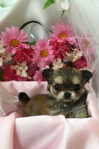 チワワ(ロング)の子犬(ID:1261811036)の3枚目の写真/更新日:2017-08-22