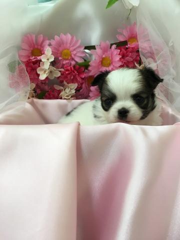 チワワ(ロング)の子犬(ID:1261811038)の1枚目の写真/更新日:2017-09-01