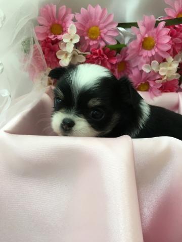 チワワ(ロング)の子犬(ID:1261811039)の1枚目の写真/更新日:2017-09-01