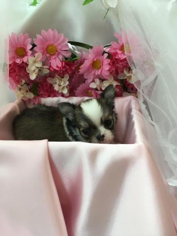 チワワ(ロング)の子犬(ID:1261811040)の1枚目の写真/更新日:2017-09-01