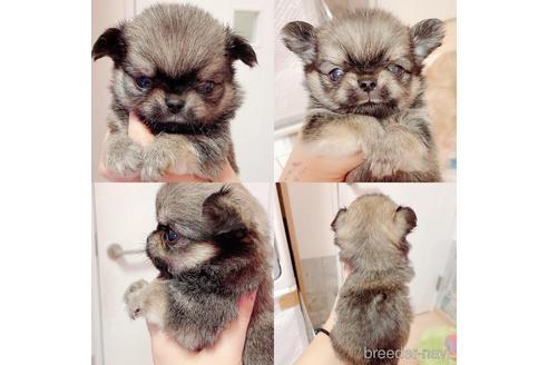 チワワ(ロング)の子犬(ID:1261811041)の1枚目の写真/更新日:2017-09-01