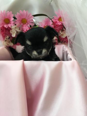 チワワ(ロング)の子犬(ID:1261811042)の1枚目の写真/更新日:2017-09-01