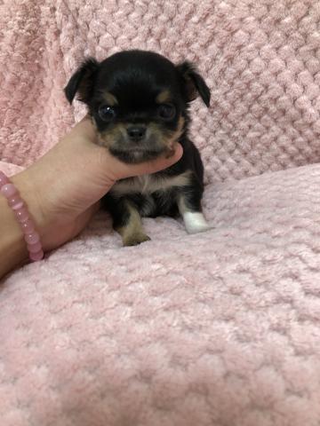チワワ(ロング)の子犬(ID:1261811043)の1枚目の写真/更新日:2017-11-14