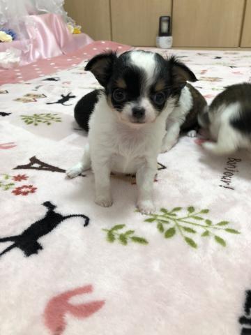 チワワ(ロング)の子犬(ID:1261811045)の1枚目の写真/更新日:2017-11-16