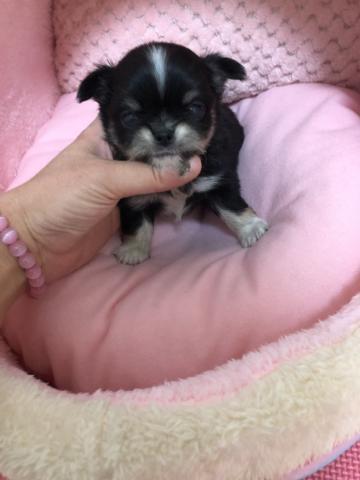 チワワ(ロング)の子犬(ID:1261811048)の1枚目の写真/更新日:2018-01-12