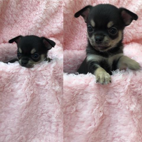 チワワ(スムース)の子犬(ID:1261811053)の1枚目の写真/更新日:2018-03-05