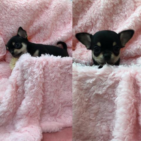 チワワ(スムース)の子犬(ID:1261811054)の1枚目の写真/更新日:2018-03-05