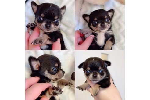 チワワ(ロング)の子犬(ID:1261811056)の1枚目の写真/更新日:2018-03-19