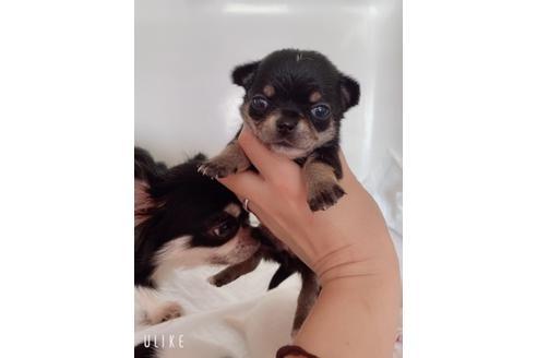 チワワ(スムース)の子犬(ID:1261811056)の2枚目の写真/更新日:2021-05-22