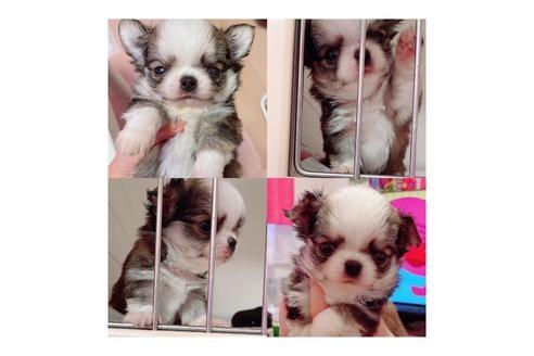 チワワ(ロング)の子犬(ID:1261811063)の1枚目の写真/更新日:2021-05-22