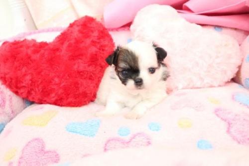 チワワ(ロング)の子犬(ID:1261811064)の2枚目の写真/更新日:2019-03-15