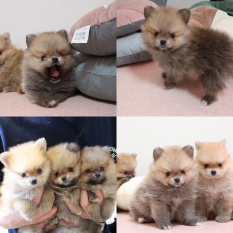ポメラニアンの子犬(ID:1261811065)の1枚目の写真/更新日:2019-10-11