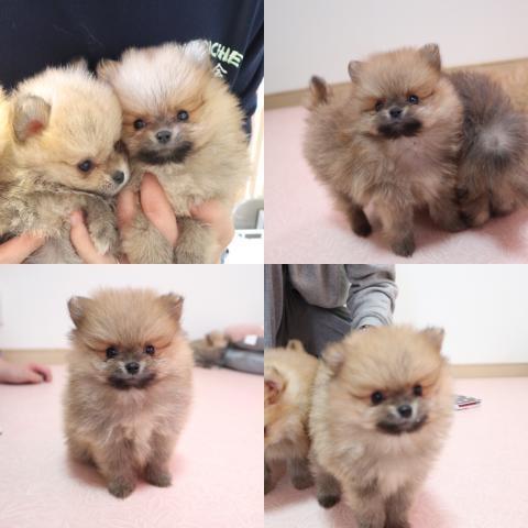 ポメラニアンの子犬(ID:1261811066)の1枚目の写真/更新日:2019-10-11