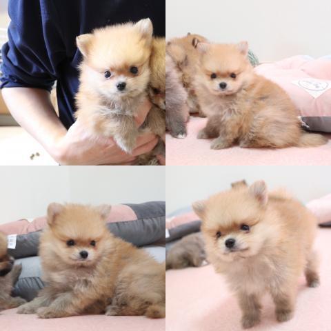 ポメラニアンの子犬(ID:1261811067)の1枚目の写真/更新日:2019-10-11