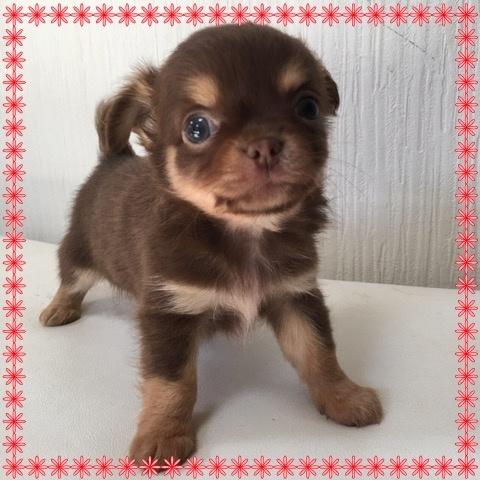 チワワ(ロング)の子犬(ID:1262011004)の1枚目の写真/更新日:2016-11-24