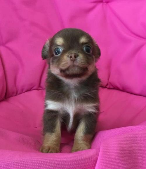 チワワ(ロング)の子犬(ID:1262011005)の1枚目の写真/更新日:2016-11-24