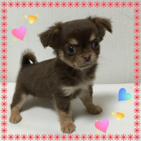 チワワ(ロング)の子犬(ID:1262011005)の2枚目の写真/更新日:2016-11-24