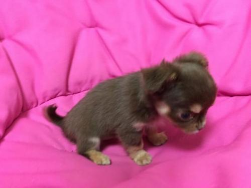 チワワ(ロング)の子犬(ID:1262011005)の3枚目の写真/更新日:2016-11-24