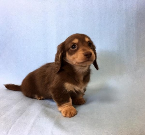 カニンヘンダックスフンド(ロング)の子犬(ID:1262011006)の1枚目の写真/更新日:2017-01-17
