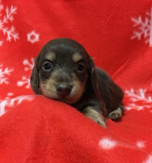 カニンヘンダックスフンド(ロング)の子犬(ID:1262011006)の5枚目の写真/更新日:2016-12-21