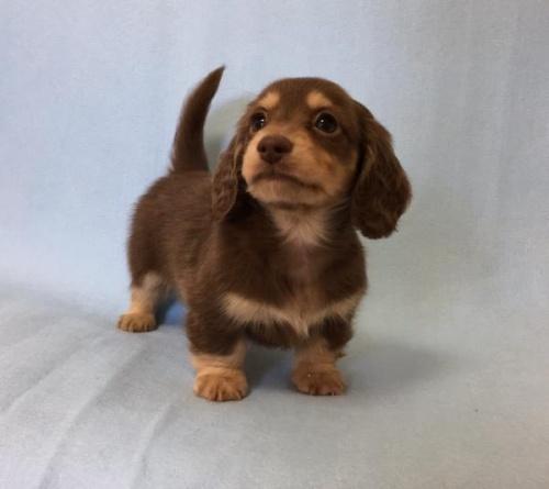 カニンヘンダックスフンド(ロング)の子犬(ID:1262011007)の1枚目の写真/更新日:2017-01-17